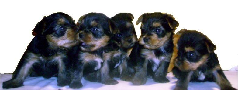 5 week old puppies Yor...